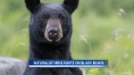 Black bears and their behaviour Pt. 1