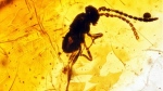 A wasp in amber from the Cretaceous period was found by Royal Saskatchewan Museum paleontologists near Bengough, SK in summer 2018. (Royal Saskatchewan Museum)