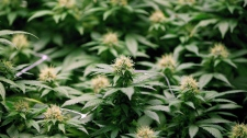 Growing flowers of cannabis intended for the medical marijuana market are shown at OrganiGram in Moncton, N.B., on April 14, 2016. (THE CANADIAN PRESS/Ron Ward)