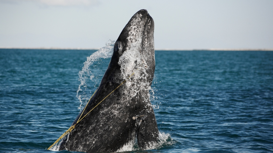 A juvenile Gray whale is breaching whilst entangled in a lobster trap line off the coast of Mexico in November 2012. (Brandon Cole / naturepl.com)