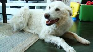 CTV National News: Dog mix-up leads to another los