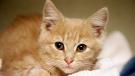 FILE - In a Friday, Nov. 14, 2014 file photo, Elsa, a kitten, recovers at the Denver Dumb Friends League animal shelter, in Denver. (AP Photo/P. Solomon Banda)