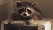 Jenny Serwylo shared this photo of a raccoon that broke into her home in the middle of the night.