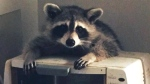 Raccoons break in for bread