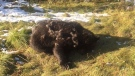 Alberta Fish and Wildlife Enforcement said a second grizzly was found dead south of Grande Prairie on Thursday, Sept. 19, 2018. (Facebook/Alberta Fish and Wildlife Enforcement)