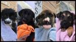 Manitoba puppies