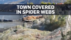 Town covered in thousands of spiders, webs