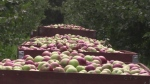 This year's self-guided apple pie trail has about 40 stops, including wineries, cafes and restaurants. (CTV Barrie)