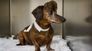 Patches, a nine-year-old dachshund from Willamsport, Pa., is shown before surgery for a brain tumour that eventually grew through the skull. Researchers at an Ontario university have performed what is believed to be the first major dog skull replacement using 3D-printing technology. THE CANADIAN PRESS/HO