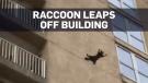 Caught on cam: Raccoon climbs building, jumps