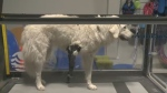 A dog named Sam with a prosthetic limb is at the Veterinary Mobility Center's new location on McAra Street in Regina on Sept. 23, 2018.