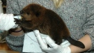 Beaver being cared for at Salthaven. (Courtesy of Salthaven)