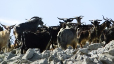 Wild mountain goats on Pizzo Carbonara in Italy