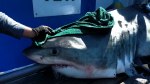 The official Ocearch Twitter account posted a photo on Monday afternoon of the male shark, named Nova, that was tagged off the south shore of Nova Scotia. (Ocearch/Twitter)