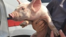 York Regional Police say this pig was spotted hoofing it down Highway 400, in York Region, Ont., on Friday, Sept. 24. (@YRP / Twitter)