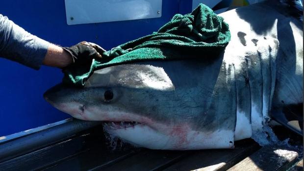 'Nova,' a white shark, was tagged off Nova Scotia. (@Ocearch / Twitter)