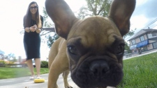 leon french bulldog