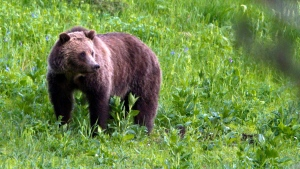 In this July 6, 2011, file photo, a grizzly bear roams near Beaver Lake in Yellowstone National Park, Wyo. (AP Photo/Jim Urquhart, File)