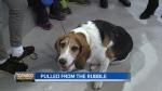 How Charlie the Beagle was saved