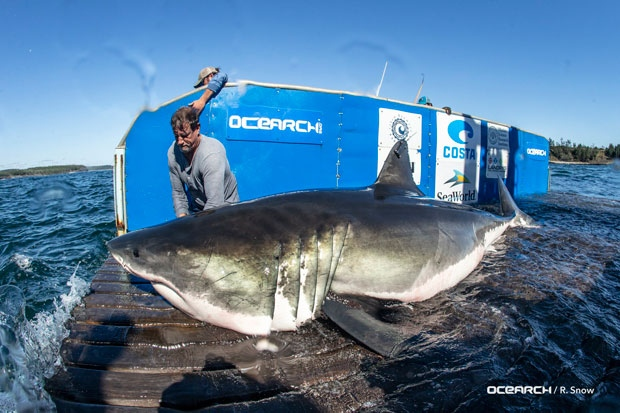 The official Ocearch Twitter account posted a photo of the male shark, named Hal, that was tagged off the south shore of Nova Scotia. (Ocearch/Twitter)