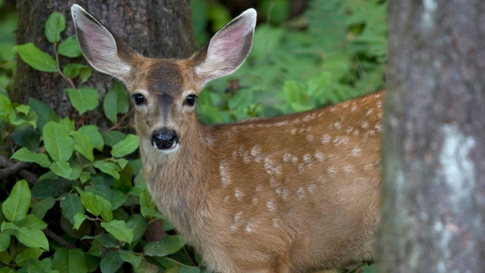 A deer is seen walking through the forest in Maple Ridge, B.C. Sunday, Aug. 15, 2010. (THE CANADIAN PRESS / Jonathan Hayward)