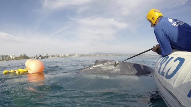 A rescuer tries to free a whale calf
