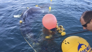 Rescuers try to free a whale calf