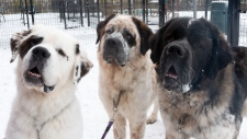Edmonton Humane Society is looking for a home for a trio of Saint Bernard brothers, Goliath, Gunther and Gasket. Submitted.