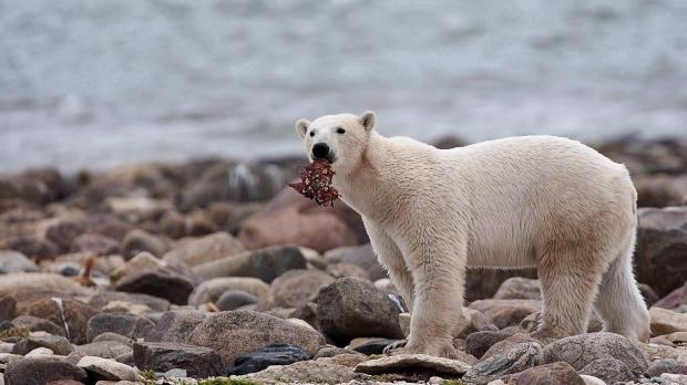 Polar bear near Churchill