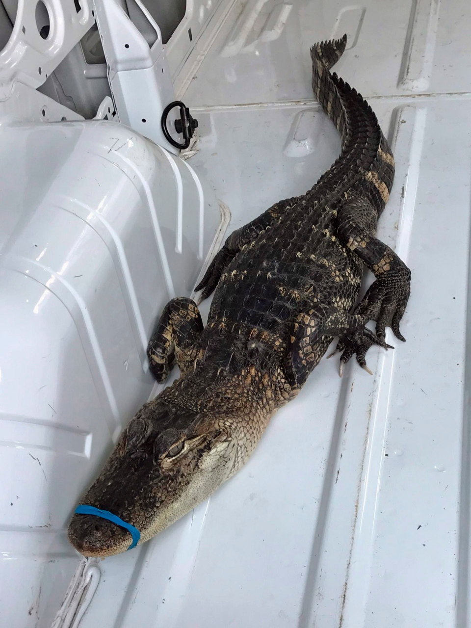 This Monday, Oct. 8, 2018, photo provided by the City of Waukegan, Ill., shows a 4-foot alligator in a van outside city hall after animal control workers helped capture it from Lake Michigan. (Sam Cunningham/City of Waukegan via AP)