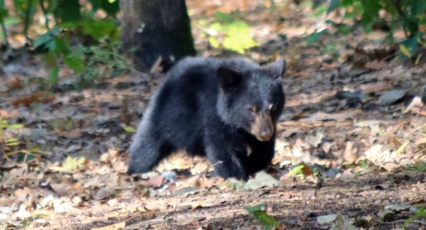 Valour School Petawawa bear cub