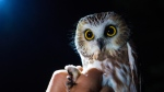 Roughly the size of a coffee cup, the Northern Saw-Whet owl is the focus of a study trying to determine whether two brutal wildfire seasons have led to a decline in their population. (Scott Cunningham/CTV Vancouver Island)