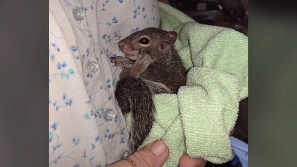 Cindy Torok says Daisy, an 11-week-old squirrel, helps her deal with her anxiety in crowds.