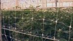 Inside HEXO's greenhouse