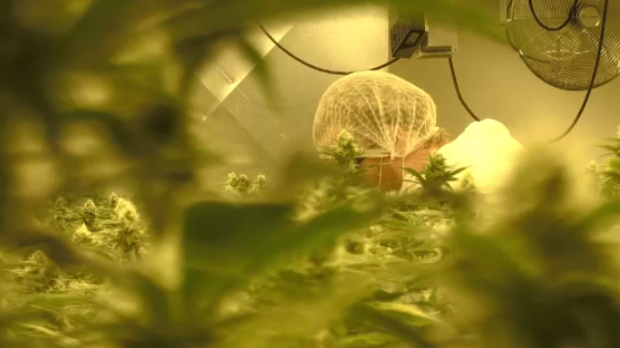 A worker at a cannabis production plant