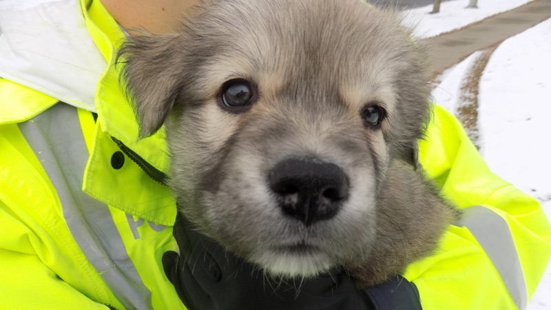 RCMP found a puppy in a stolen Audi SUV, found in the area of Grandin Rd. and Levasseur Rd. on Thursday, Oct. 11, 2018. Supplied.
