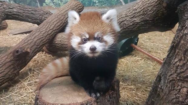 male panda cub