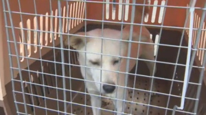 A dog rescued from a South Korea meat farm ready to be rehomed in Canada