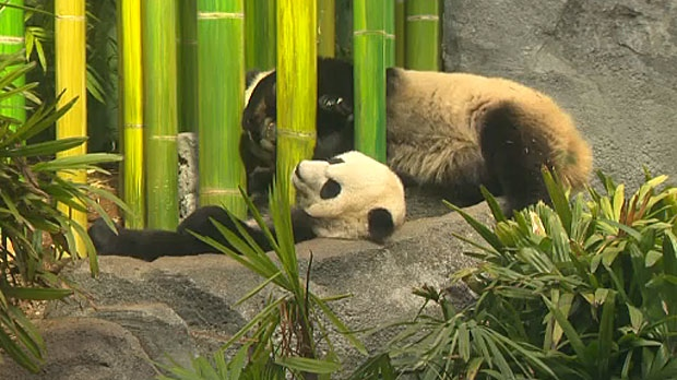 Panda cubs celebrate birthday