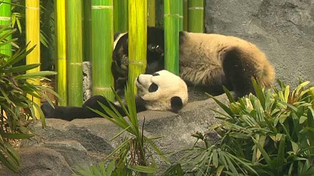 Panda cubs celebrate birthday