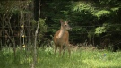 Truro allows bow hunting to reduce deer population