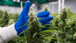 Cannabis plants are seen at a licensed production facility in Langley, B.C. on Tuesday, Oct. 9, 2018. (THE CANADIAN PRESS/Jonathan Hayward)