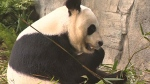 Pandas celebrate third birthday