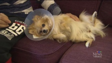 Molly, a Pomeranian, was attacked by another dog at a Petsmart in Toronto.