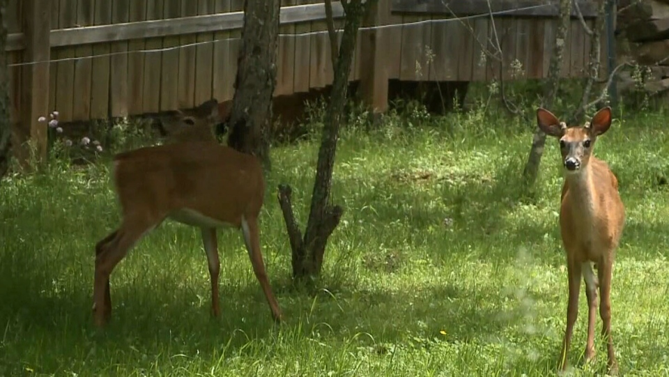 Deer are seen in a yard in Truro, N.S. To combat a growing urban deer population, the town will be allowing hunting within its boundaries as of Monday. (CTV Atlantic)