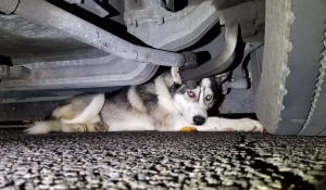 A dog that was hit by a car in Toronto took refuge under a TTC bus. (Brad Ross / Twitter)