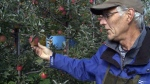 Apple picking season comes to a close in N.B.