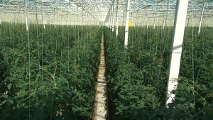 Some farmers in British Columbia plan to grow legal pot.