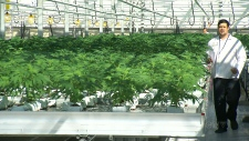 Some farms converting to growing cannabis