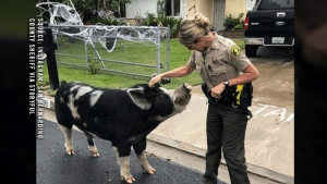 Officers use Doritos to lure loose pig
